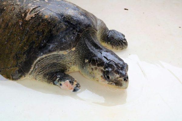 Tortuga Golfina Rescatada en Playas de Mazatlán Acuario 2021 1