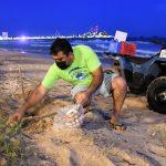 Acuario Mazatlán Reporta Avance de la temporada de anidación de tortuga golfina