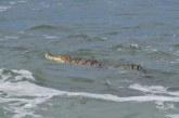 Capturan a cocodrilo que llegó a playas de avenida Del Mar