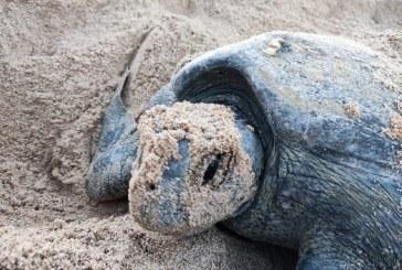 Regresa Tortuga Prieta a playas mazatlecas