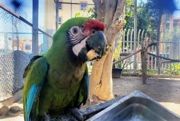 Acuario Mazatlán Alberga una Nueva Cría de Guacamaya Verde