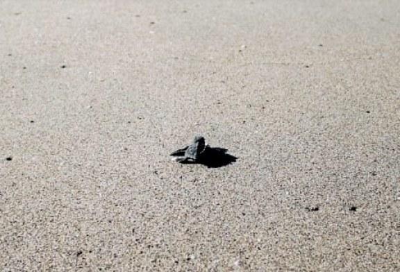 Reconoce SEDESU el apoyo de Fundación Coppel y CTTMX para la conservación de la tortuga marina en Sinaloa