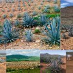 Sinaloa logra la denominación de origen Mezcal